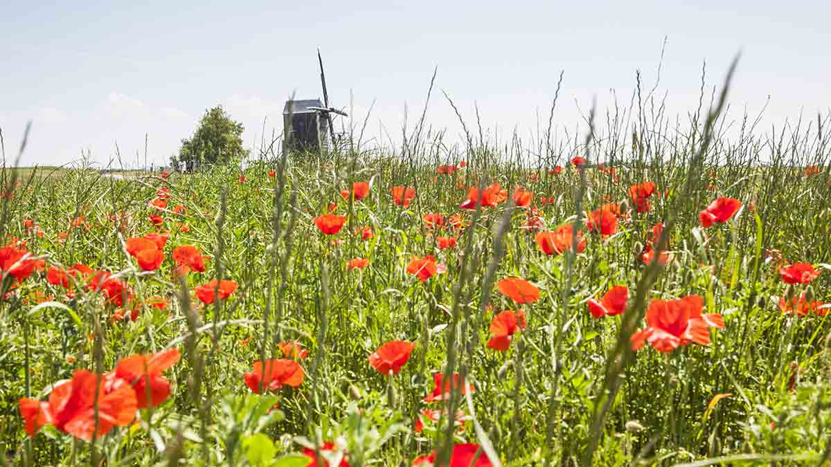 Poppies in Loire Valley