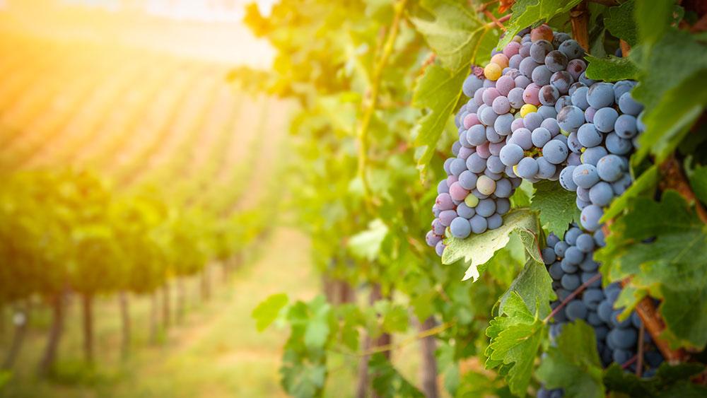 Vineyard Burgundy in France