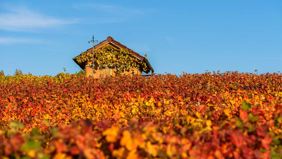 Vineyard in Stuttgart, Germany