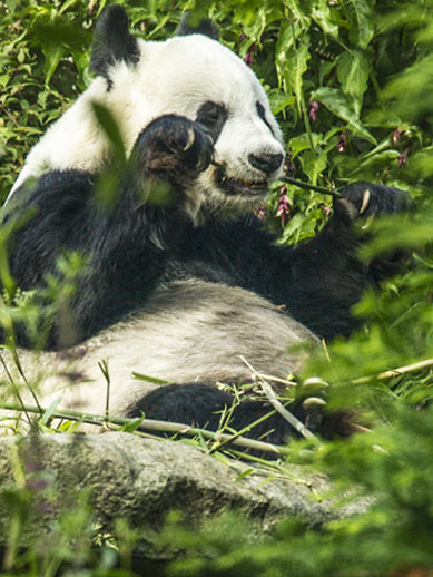 Reuzenpanda in de dierentuin van Edinburgh