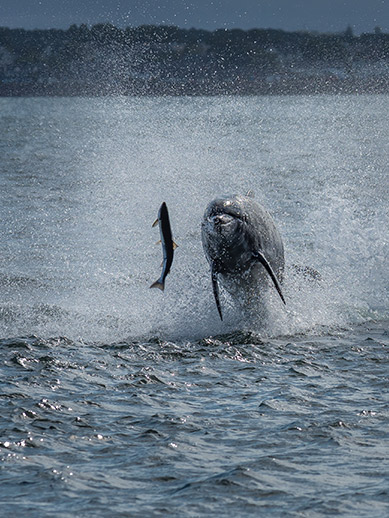 Delphin bei Murray Firth in Inverness