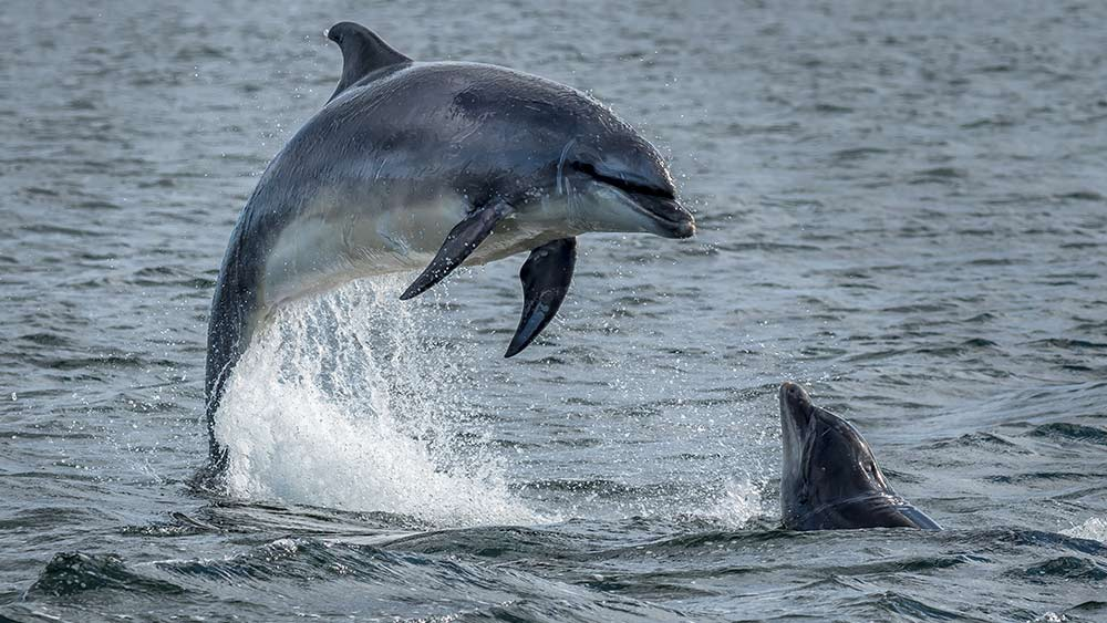 Dolphins at Inverness Scotland