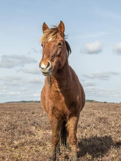 New Forest Pony près de Southampton