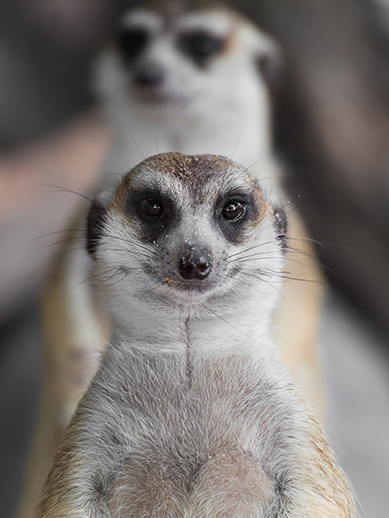 Meercats at Long Leat
