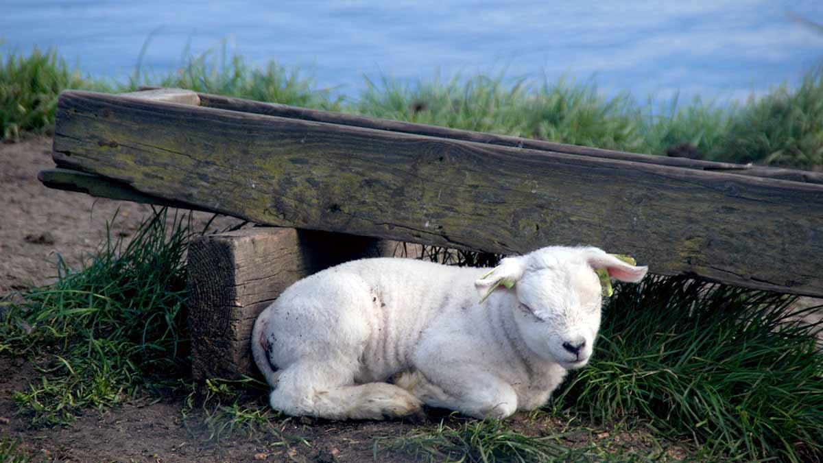 Lamb in Texel, Netherlands