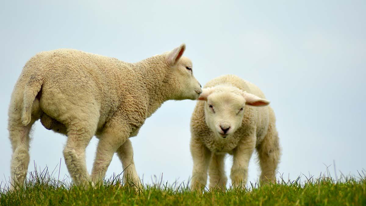 Lambs in Texel, Netherlands