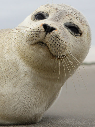 A seal in Texel