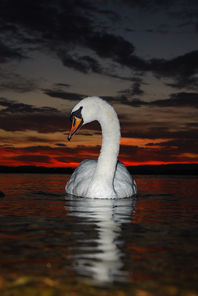 Swan in County Fermanagh